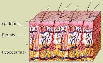 cildin katmanları