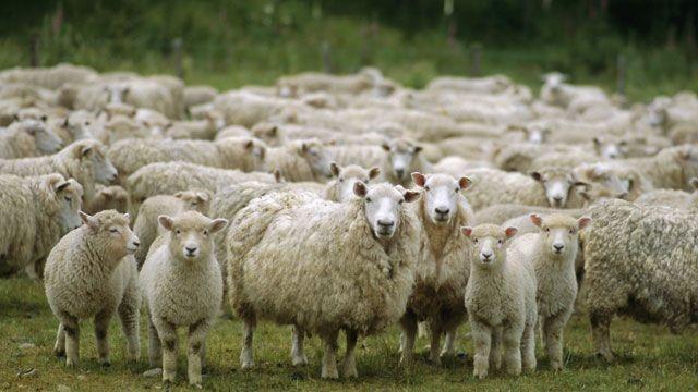 Esrar yiyen bir grup koyun köyün altını üstüne getirdi!