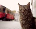 İstanbul kedileri Amerika yolcusu