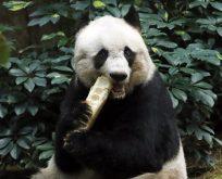 Dünyanın en yaşlı pandası uyutuldu