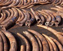 Çin'den fildişi ticareti yasağı